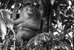 the king (www.infografiagijon.es) Tags: bw naturaleza white black blanco nature canon arbol monkey negro selva asturias bn jungle malaysia borneo gijon sabah xixon markii malasia asturies jungla tawau simios infografia astur eos5d hernancad wwwinfografiagijones tawauhillnationalpark