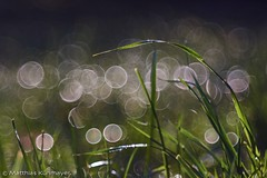 Morning Dew (matt.kueh) Tags: grass bokeh meadow waterdroplets morningdew culms grassblades soapbubblebokeh meyeroptikgoerlitzprimotar135mmf35