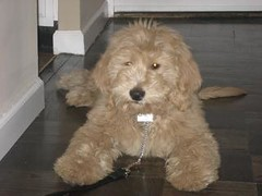 sebi--livin-large-in-nyc--hes-one-of-lilly-and-chewys-puppies-_3449032868_o