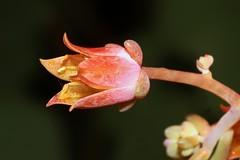 X Cremneria ´Expatriata´ 4068-1; Crassulaceae (1)