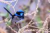 _DSC5230.jpg (David Hamments) Tags: bird superbfairywren murrumbidgeeriverwalk austraila male dusk nsw ngc