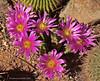 Echinocereus vierreckii ssp. morricalii (l.e.violett) Tags: cactus flowers cultivated echinocereus vierreckii sspmorricalii