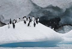 Brünnich's Guillemots (Robert Horne Wildlife Photography) Tags: brünnich'sguillemot brünnich'sguillemots guillemot thickbilledmurre murre auk seabird urialomvia svalbard spitsbergen arctic arcticcircle norway ice snow iceberg arcticocean birds