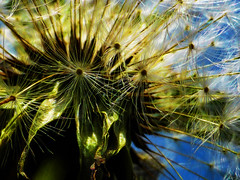 Nearing Departure Time (Steve Taylor (Photography)) Tags: art digital black blue green white yellow closeup macro weeds dandelion