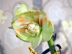Wunderschnen Freitag! (ingrid eulenfan) Tags: pflanze blume blte amaryllis pastell