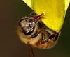 Found the Sweet Spot (Darts5) Tags: bug bugs bees bee beeupclose beeseye beetongue honeybee honeybees honeybeedrinking honeybeestongue honeybeetongue ef100l 7d2 7dmarkll 7dmarkii 7d2canon closeup canon7d2 canon7dmarkll canon7dmarkii canon macro macros