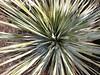 Desert Spoon (Dasylirion wheeleri) (brewbooks) Tags: hiking arizona tucson taxonomy:kingdom=plantae plantae taxonomy:clade=tracheophyta tracheophyta taxonomy:phylum=magnoliophyta magnoliophyta taxonomy:class=liliopsida liliopsida taxonomy:order=asparagales asparagales taxonomy:family=asparagaceae asparagaceae taxonomy:genus=dasylirion dasylirion taxonomy:species=wheeleri taxonomy:binomial=dasylirionwheeleri wheelersotol sotolcommon sotoldedesierto dasylirionwheeleri sauo desertspoon spoonflower taxonomy:common=wheelersotol taxonomy:common=sotolcommon taxonomy:common=sotoldedesierto taxonomy:common=sauo taxonomy:common=desertspoon taxonomy:common=spoonflower inaturalist:observation=4940344