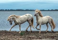 2016 Two Camargue Stallions (2) (maskirovka77) Tags: saintlaurentdaigouze languedocroussillonmidipyrén france languedocroussillonmidipyrénées fr stallion stallions whitehorse whitehorses whitestallion whitestallions createaway photoworkshop