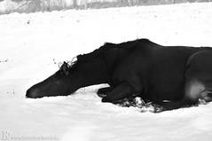 Kairo (Dorothee Rund) Tags: schnee snow weide pferd pferde horses saddler saddlebred wälzen rolling galopp gallop galoppieren brauner isabelle palomino fuchs blond langemähne araber rheinländer rheinischeswarmblut germany