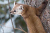 Pine Marten looking around (NicoleW0000) Tags: pine marten carnivore wild wildlife photography outdoor animal