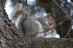 scoiattolo (kyry2010) Tags: scoiattolo squirrel animal animale torino