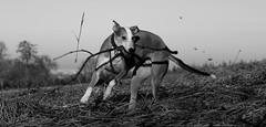 U-TURN... (RALPHKE) Tags: uturn dogs whippet dog playful limburg netherlands blackwhite canon canoneos750d nova