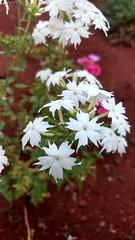 flox (Rodrigo Ribeiro) Tags: flox flor flower flores garden gardening jardim jardinagem nature natureza