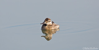 Time to reflect.... (Ruddy Duck)
