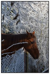 cheval (Christ.Forest) Tags: cheval froid nature nikon maron horse cold givre frost hiver winter frozen
