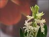 Drinnen: Frühling (julia_HalleFotoFan) Tags: hyazinthe hyacinthus spargelgewächs zwiebelpflanze freitagsblümchen