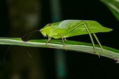 Katydid (Norman Graf) Tags: animal centralamerica costarica insect katydid refugiodevidasilvestremonteverde tettigoniidae