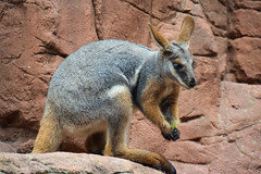 Yellow-footed Rock Wallaby (Petrogale xanthopus) (Seventh Heaven Photography) Tags: ringedtailed yellowfooted rock wallaby petrogale xanthopus petrogalexanthopus macropod marsupial mammal animal australia sydney nsw new south wales nikond3200