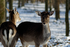 Caught. (christiannass) Tags: sony tree pointofview selectivefocus sonyslta58 flickr inspiring traveling winter exploring day nature brown deutschland animal growth snow germany idyllic travelling frost tranquility explore wildanimals inspired outdoors zoology