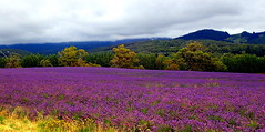 LAVENDER Farm in a Different MOOD (Lani Elliott) Tags: lavender lavenderfarm purple flowers naturenaturephotography tasmania scene scenic view scenictasmania australia