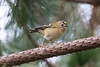 Goldcrest in the Park (queeny63) Tags: elements goldcrest bird