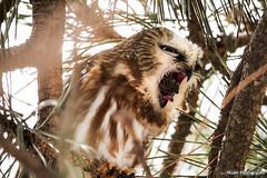 Northern Saw-Whet Owl (Facebook.com/MontyPro | ShopMonty.com) Tags: birds owl owls canon nature wildlife outdoors avian sawwhet tongue mouth beak feathers wings amazing perfecttiming eyes closeup portrait michigan ofprey birdofprey