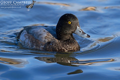 Greater Scaup (Aythya marila) (gcampbellphoto) Tags: greater scaup aythya marila duck wildfowl waterbird drake nature wildlife county antrim urban gcampbellphoto bird animal outdoor waterfowl aquatic