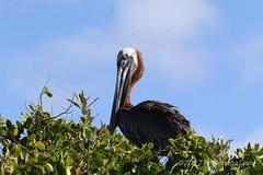 Pellicano (Roberto Lauro) Tags: viaggi travel ecuador galapagos uccelli bird pellicano natura nature wildlife animali canon
