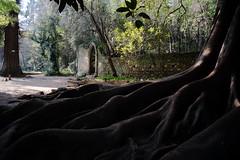 Coimbra - Jardines Quinta de las Lagrimas - Raices de un Ficus. (manomesa) Tags: arbol ficus jardin coimbra voigtlander15