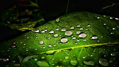 Perfectly aligned droplets (abhishekskumar) Tags: naturelovers nature naturelover love green sphere droplets