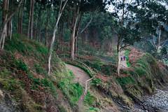 Senda litoral (Oscar F. Hevia) Tags: bosque eucaliptos senda sendero camino forest eucalyptus path asturias asturies colunga españa paraisonatural principadodeasturias spain