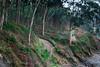 Senda litoral (Oscar F. Hevia) Tags: bosque eucaliptos senda sendero camino forest eucalyptus path asturias asturies colunga españa paraisonatural principadodeasturias spain paraísonatural principalityofasturias