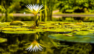The Water Lily and the Dragonfly. ©®