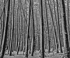 Getreift - striped (ralfkai41) Tags: bäume trees nature schwarzweis striped woods monochrom sw bw outdoor gestreift wald natur blackwhite forest