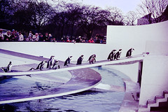 PICT0215 (Photos-Tony Wright) Tags: london zoo penguins easter 1965 animals