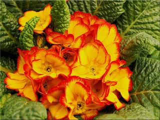 Spring messengers - Primula