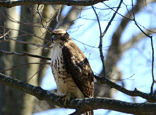 """Broad Wing Hawk • <a style=""""font-size:0.8em;"""" href=""""http://www.flickr.com/photos/52364684@N03/33120864436/"""" target=""""_blank"""">View on Flickr</a>"""