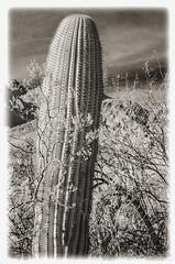 Sabino Canyon IR #13: Saguaro & Friends (hamsiksa) Tags: arizona tucson coronadonationalforest sabinocanyonnationalrecreationarea sabinocanyon pimacountyarizona southwest desert sonorandesert bajada cactus cacti saguarocactus saguaro cactaceae carnegieagigantea plants flora vegetation succulents xerophytes