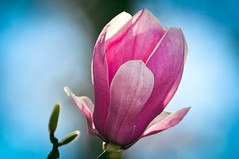 Day 58 ~ Saucer Magnolis (champbass2) Tags: day58 58365 3652017 day365project 2017 spring magnoliablossom magnolia saucermagnolia