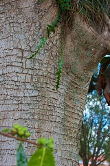 Tree bark (LarryJay99 ) Tags: berries bokeh detail florida foliage gorgeousgreen green greenleaves greenery mountsbotanicalgardens nature outside pattern sunlight textures westpalmbeach palmbeach leaves