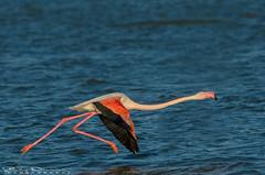 Take-off (Jokermanssx) Tags: cagliari capoterra fenicotteri flamingo laguna sgilla sardegna sardinya stagno sunset tramonto