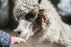 Alpaca (Janne Fairy) Tags: alpaca alpaka animal zoo tierpark tiere animals hand pako kamel camel sniff snuffle eye auge bokeh child kind
