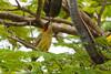 Green-barred woodpecker (Andrew Mercer) Tags: corumbá portogeral ms matogrossodosul pantanal brazil woodpecker greenbarredwoodpecker picapaucarijó colaptesmelanochloros