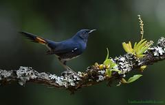 นกเขนแปลง / White-bellied Redstart / Hodgsonius phaenicuroides (bambusabird) Tags: animalbird redstart rare blue rainforest rorest tropical oriental chiangmai thailand