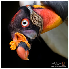 King Vulture / Gallinazo Rey (Panama Birds & Wildlife Photos) Tags: aves panama vulture zopilote zamuro newworldvultures gallinazo panamabirds gallote birdsofpanama avesdepanama