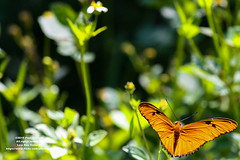 LRa06-22-14-8615 (Glotzsee) Tags: nature butterfly outdoors julia florida insects juliabutterfly indianrivercounty
