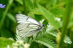 Pualiblikas (Aporia crataegi). (Imbi Vahuri) Tags: lepidoptera insecta pieridae aporia putukad liblikalised pualiblikas pualibliklased imbivahuri