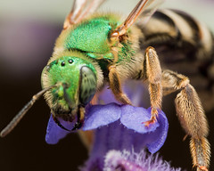 Sweat bee on purple flower (Steven Ellingson) Tags: flower detail macro green nature animals closeup bug insect outdoors wings close purple metallic wildlife insects bugs micro iridescent microscopic sweatbee halictidae
