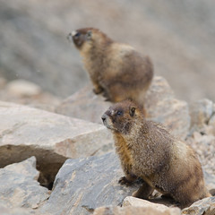 Marmots at the summit of Mount Elbert (Colorado) (borazslo) Tags: mountain mountains colorado rockymountains marmot 14er 14ers marmots mountelbert colorado14ers mtelbert