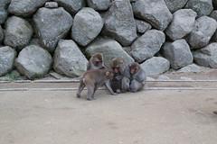 Takasakiyama Monkey Park, Oita, Kyushu, Japan 高崎山モンキーパーク (silkylemur) Tags: japan monkey nationalpark monkeys macaco fullframe canoneos animalia mammalia saru oita さる primates takasaki サル 6d snowmonkey 九州 2014 japanesemacaque monkeypark monkeyland takasakiyama japanesemonkey 猿 macaca chordata mounttakasaki macacafuscata キャノン cercopithecidae ニホンザル efmount nihonzaru mttakasaki マカク属 canon6d oitaprefecture 일본원숭이 японский サル目 canoneos6d 哺乳綱 macacojaponés macacogiapponese macacodecararoja オナガザル科 макак ホンドザル японскиймакак ลิงกังญี่ปุ่น khỉnhậtbản キャノンレンズ efマウント efマウントレンズ キヤノンeos6d مكاكيابانيמקוקיפני
